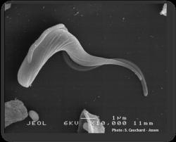 L'agent de la dourine, Trypanosoma equiperdum, est un protozoaire flagellé