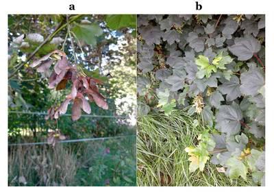 Samares et feuilles de l'érable sycomore