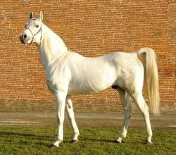cheval gêne SCID dépistage