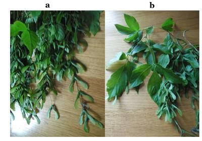 samares et feuilles de l'érable negundo