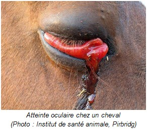 Atteinte oculaire cheval - RESPE