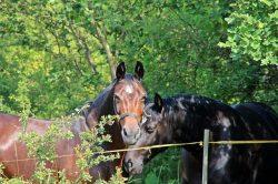Les arbres qui apportent de l'ombre ou une protection contre les intempéries peuvent parfois être également toxiques pour les chevaux. Il est donc important de connaître et savoir reconnaître les principaux.