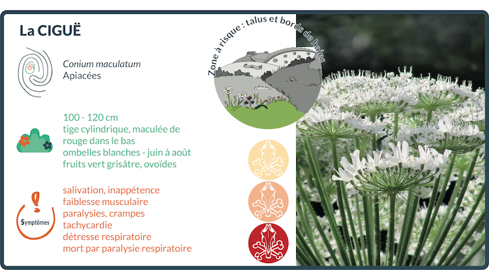 la cigüe est une des plantes indigènes les plus toxiques, en particulier au printemps