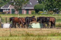 Pâtures et foin: quelles sont les principales plantes toxiques pour les chevauxqu'il est possible d'y rencontrer?