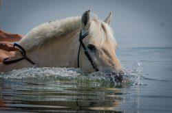 Ces besoins sont à doubler ou tripler pour les chevaux qui travaillent