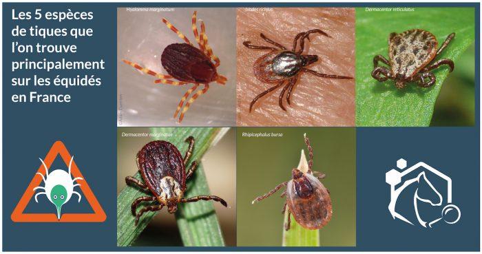 Les tiques sont des acariens de la classe des arachnides (comme les araignées). Il existe près de 900 espèces de tiques à travers le monde, dont 41 en France.