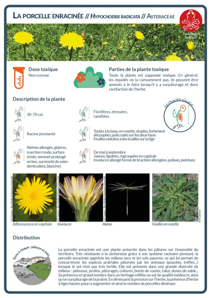 La porcelle enracinée est une plante présente dans les pâtures. Sa présence en grand nombre dans un herbage reflète un sol de qualité médiocre, ainsi qu'un surpâturage de la prairie.