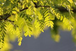 Les parties toxiques du robinier faux acacia contiennent deux phytotoxines, la robine - la plus dangereuse - et la phasine, qui provoquent une agglutination des hématies et une inhibition de la synthèse protéique conduisant à la mort cellulaire. Leur toxicité est maximale à l'automne.