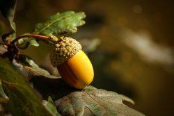 Le gland est une plante toxique, dont la toxicité varie en fonction des espèces de chênes, des années, du climat et dLe gland est une plante toxique, dont la toxicité varie en fonction des espèces de chênes, des années, du climat et de chaque individu