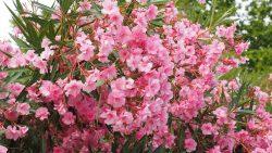Le laurier rose contient des hétérosides cardiotoxiques à action digitalique, dont essentiellement de l'oléandrine, une substance qui entraîne des troubles cardiaques. La toxicité est maximale dans les feuilles. A noter, les toxines peuvent aussi contaminer le lait des juments.
