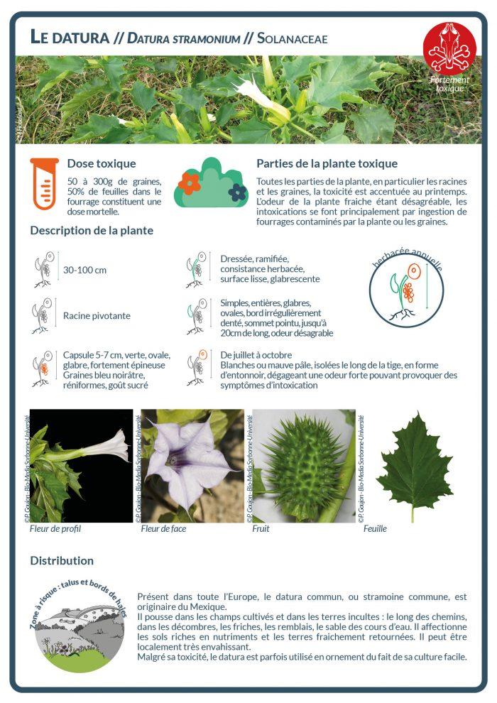 Le datura est riche en alcaloïdes tropaniques (atropine, scopolamine) qui provoquent des paralysies chez les équidés.